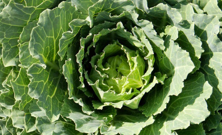Spring Cabbage